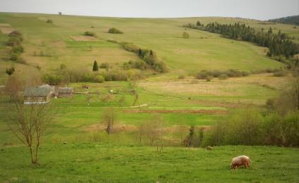 Świnia w polu - Libuchora